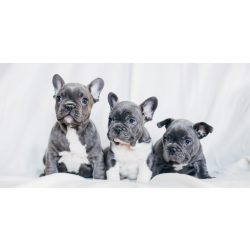 French Bulldogs fürdőlepedő, strand törölköző 70*140cm